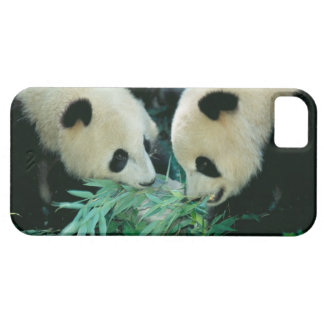 Two pandas eating bamboo together, Wolong, iPhone 5 Cases