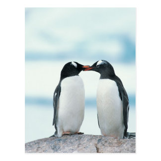 Two Penguins touching beaks Postcard