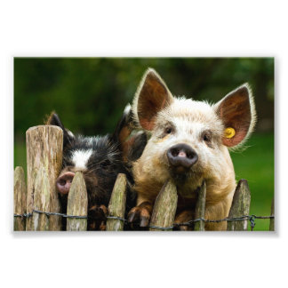 Two pigs - pig farm - pork farms photo print