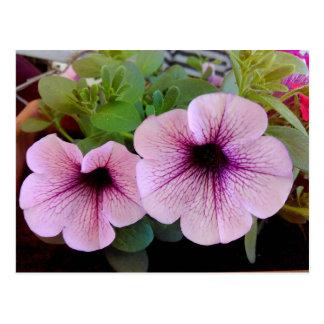 Two Pink Petunias Postcard