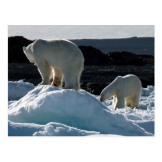 Two Polar bears Postcard