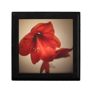 Two red amaryllis flowers gift box