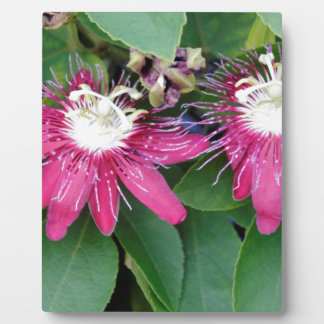 Two Red Passion Flowers Closeup Outdoors in Nature Plaque