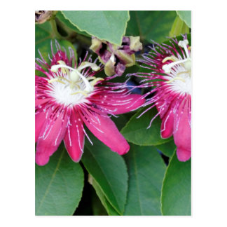 Two Red Passion Flowers Closeup Outdoors in Nature Postcard