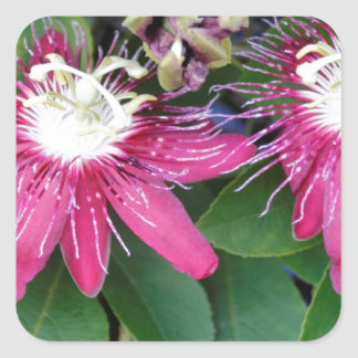 Two Red Passion Flowers Closeup Outdoors in Nature Square Sticker