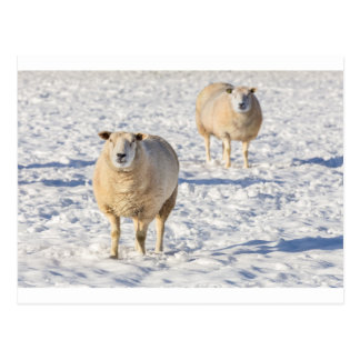Two sheep standing in snow during winter postcard