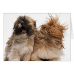 Two Shih-Tzus in the wind Greeting Cards