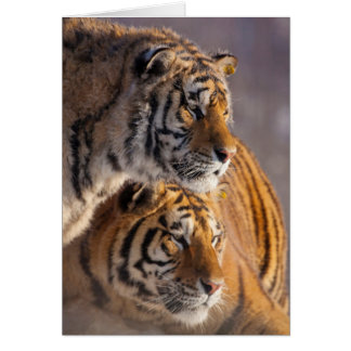 Two Siberian tigers together, China Card
