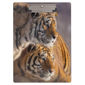 Two Siberian tigers together, China Clipboard