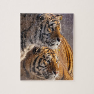 Two Siberian tigers together, China Jigsaw Puzzle