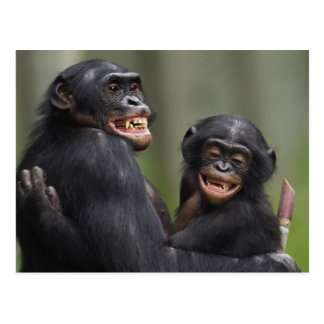 Two smiling Bonobos Postcard
