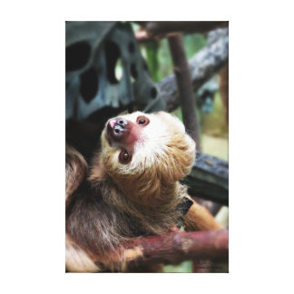 Two Toed Sloth Stretched Canvas Print