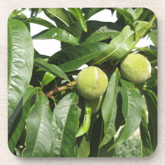 Two unripe green peaches hanging on a peach tree coaster
