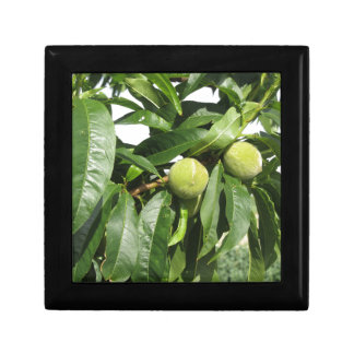 Two unripe green peaches hanging on a peach tree gift box