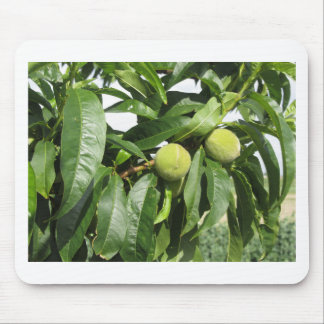 Two unripe green peaches hanging on a peach tree mouse pad