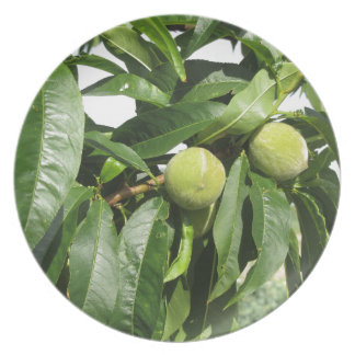 Two unripe green peaches hanging on a peach tree plate