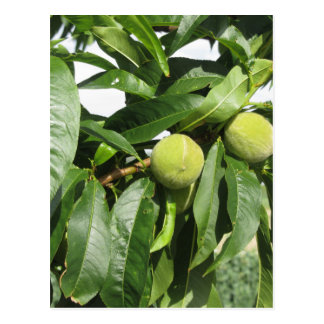 Two unripe green peaches hanging on a peach tree postcard