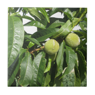 Two unripe green peaches hanging on a peach tree tile