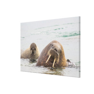 Two walruses in water, Norway Canvas Print