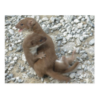 Two Weasels Battle on Pebbly Path Postcard