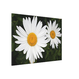 Two white and yellow daisies canvas print