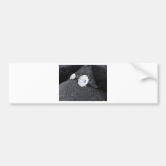 Two white daisies lying on the stone at sunset bumper sticker