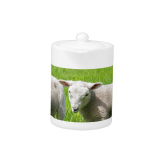Two white dutch sheep in green spring meadow