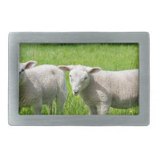 Two white dutch sheep in green spring meadow belt buckle
