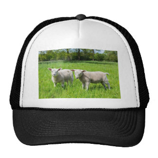 Two white dutch sheep in green spring meadow cap
