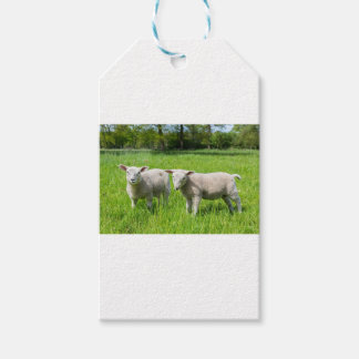 Two white dutch sheep in green spring meadow gift tags
