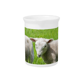 Two white dutch sheep in green spring meadow pitcher
