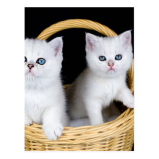 Two white kittens in basket on black background.JP Postcard