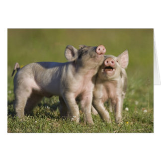 Two White Piglets Playing in Field Card