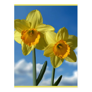 Two yellow Daffodils 2.2 Postcard