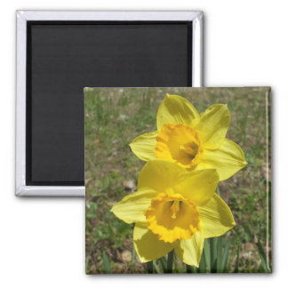 Two Yellow Daffodils Square Magnet