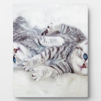Two young shorthair silver tabby cats play lying display plaques