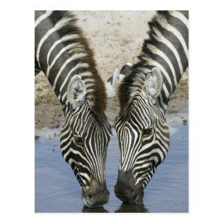 Two Zebras (Equus quagga) drinking water, Postcard