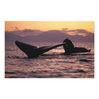 U.S.A., Alaska, Inside Passage Humpback whales Photo Print