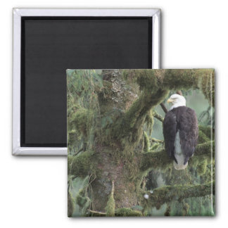 U.S.A., Alaska, Southeast Alaska Bald eagle Square Magnet
