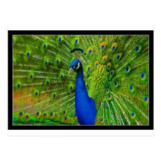 ultimate peacock.jpg postcard
