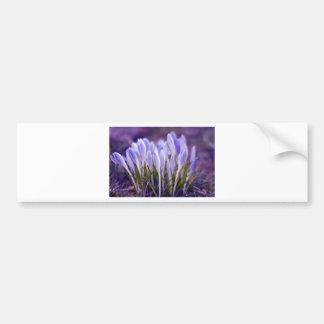 Ultra violet crocuses bumper sticker