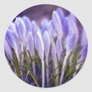 Ultra violet crocuses classic round sticker