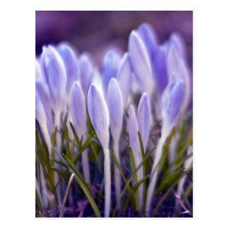 Ultra violet crocuses postcard