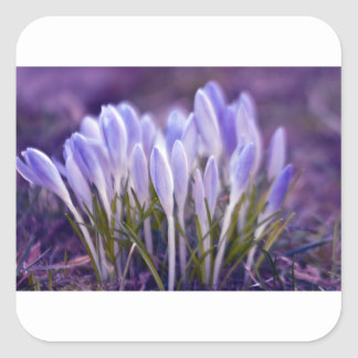 Ultra violet crocuses square sticker
