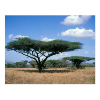 Umbrella Thorn Acacia (Acacia tortilis), Mkuze Postcard
