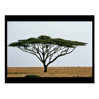 Umbrella Thorn Acacia Tree Postcard