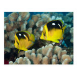 Underwater Life; FISH:  A pair of Fourspot Postcard