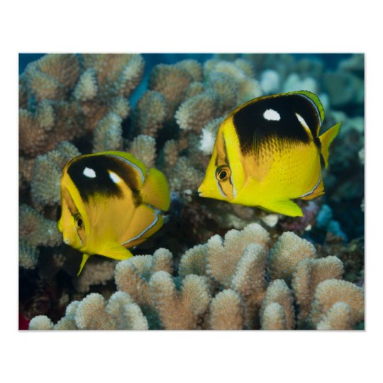Underwater Life; FISH:  A pair of Fourspot Poster