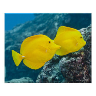 Underwater life; FISH: A Pair of Yellow Tangs Poster
