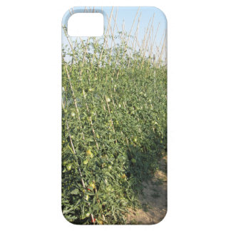 Unripe green tomatoes in the garden iPhone 5 cases